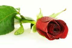 kropelka partii czerwonym świeżej róża Zdjęcia Stock