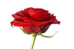 kropelki czerwona róża Zdjęcie Royalty Free