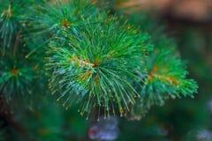 Kropelki deszcz na jedlin igłach Fotografia Stock