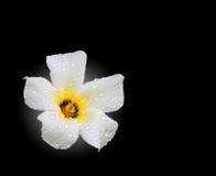 Kropelki na kwiacie odizolowywającym Zdjęcia Royalty Free