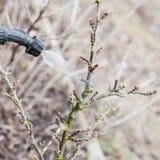 Kropić agrest z fungicide Zdjęcie Stock