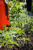 Kropi? pomidorowi krzaki Ochraniać pomidorowe rośliny od chorob obraz stock