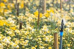 Kropidła podlewanie w chryzantema kwiatów gospodarstwie rolnym fotografia royalty free
