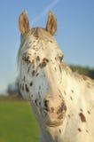 Kropkowany koń zdjęcie stock