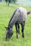 Kropkowany koń obrazy royalty free