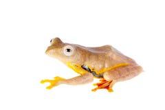 Kropkująca latająca drzewna żaba, Rhacophorus rhodopus na bielu, Zdjęcie Royalty Free