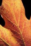 kropla czerwień liści Zdjęcie Royalty Free