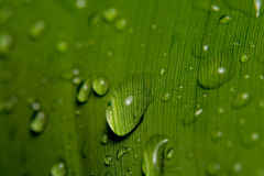 kropla deszczu w liściach bananowy Zdjęcia Royalty Free
