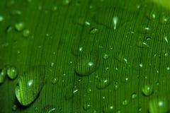 kropla deszczu w liściach bananowy Zdjęcie Royalty Free
