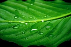 kropla liści, Obraz Royalty Free