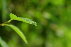 kropla liści, Obrazy Stock