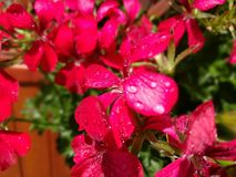 Kropla na kwiacie Fotografia Stock