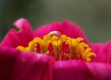 Kropla na kwiacie zdjęcie royalty free