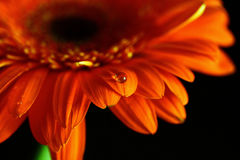 Kropla na kwiacie Zdjęcia Stock