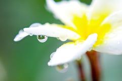 Kropla na plumeria kwiatach Obraz Royalty Free
