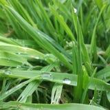 Kropla na trawie obrazy stock