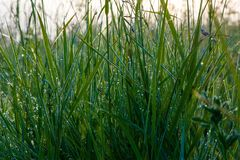 Kropla ranek rosa na trawie Zdjęcie Royalty Free