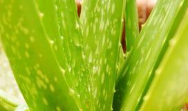 Kropla woda na aloesu Vera liścia ziele dla uśmierza oparzenie rany Zdjęcia Royalty Free