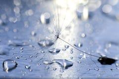 Kropla woda na dandelion dandelion na błękitnym tle z kopii przestrzenią Zdjęcie Royalty Free