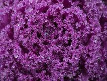Kropla woda Na kapuścianych purpurach Fotografia Stock