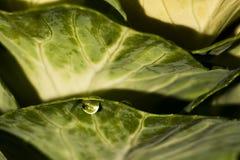 Kropla woda na liściach brassica zdjęcia royalty free