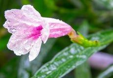 kropla wody kwiatek różowe obrazy stock
