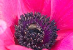 krople anemone kwiat Zdjęcie Stock