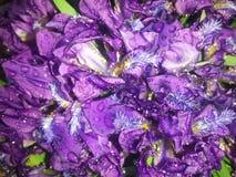 Krople deszcz na kwiatach Fotografia Royalty Free