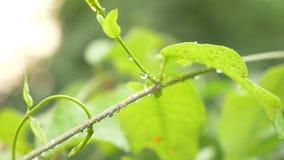 Krople deszcz na liściach loach, w górę, 4k zbiory