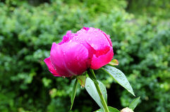 krople deszczu peoni Fotografia Royalty Free