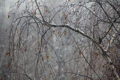 Krople na brzozy drzewie Obraz Stock