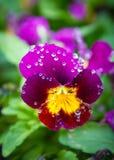Krople przy kwiatem Obraz Stock