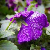 Krople przy kwiatem Obrazy Stock