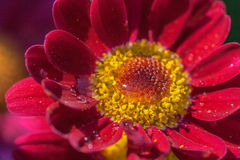Krople w kwiacie Obrazy Royalty Free