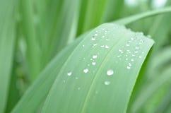 Krople w liść trzciny cukrowa roślinie Obrazy Royalty Free