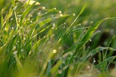 krople w trawie Zdjęcie Royalty Free