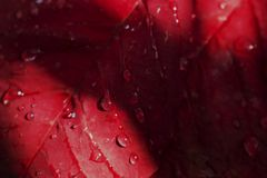 Krople woda na świeżych czerwonych liściach dla tła obrazy stock