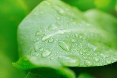 Krople woda na kobylaku po deszczu Makro- Obraz Royalty Free