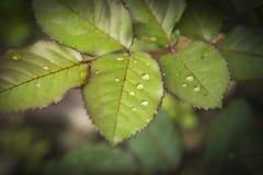 Krople woda na różanych liściach obrazy stock