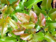 Krople woda na wymuskanych glansowanych liściach mahoni aquifolium rośliny zakończenie up Zdjęcie Royalty Free