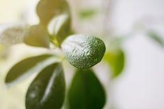 Krople woda na zielonych liściach kwiat Lekki backgrou Obrazy Royalty Free