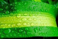 Krople woda na zielonym liściu lub odświeżającej rosie w ranku Obrazy Royalty Free