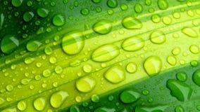 Krople woda na zielonym liściu lub odświeżającej rosie w ranku zdjęcie stock