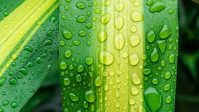 Krople woda na zielonym liściu lub odświeżającej rosie w ranku Fotografia Stock