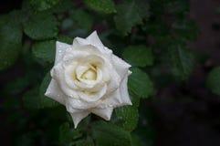 krople wody róży white Obraz Royalty Free