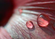 krople wody różę Japan Zdjęcie Stock