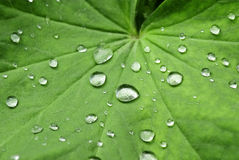 krople zielenieją liść wodę Obrazy Royalty Free