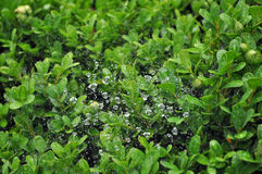 KROPLI rosy zieleni roślina wodna Zdjęcie Royalty Free