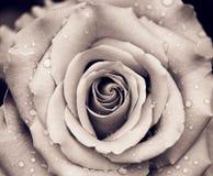 kropli wody pączek róży Zdjęcia Royalty Free