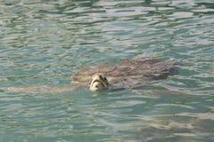 Kropp för sköldpadda för grönt hav full från den Grand Cayman ön royaltyfria foton
